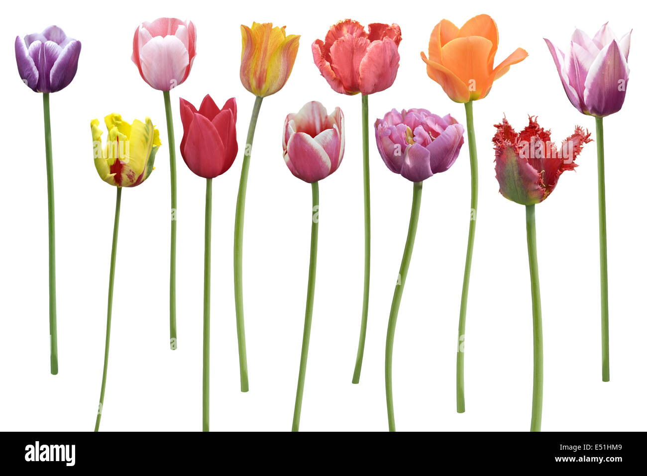 Tulips Flowers In A Row Stock Photo