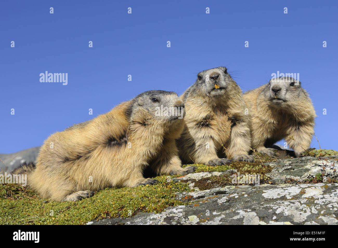 Marmots, Austria, Europe - Stock Image