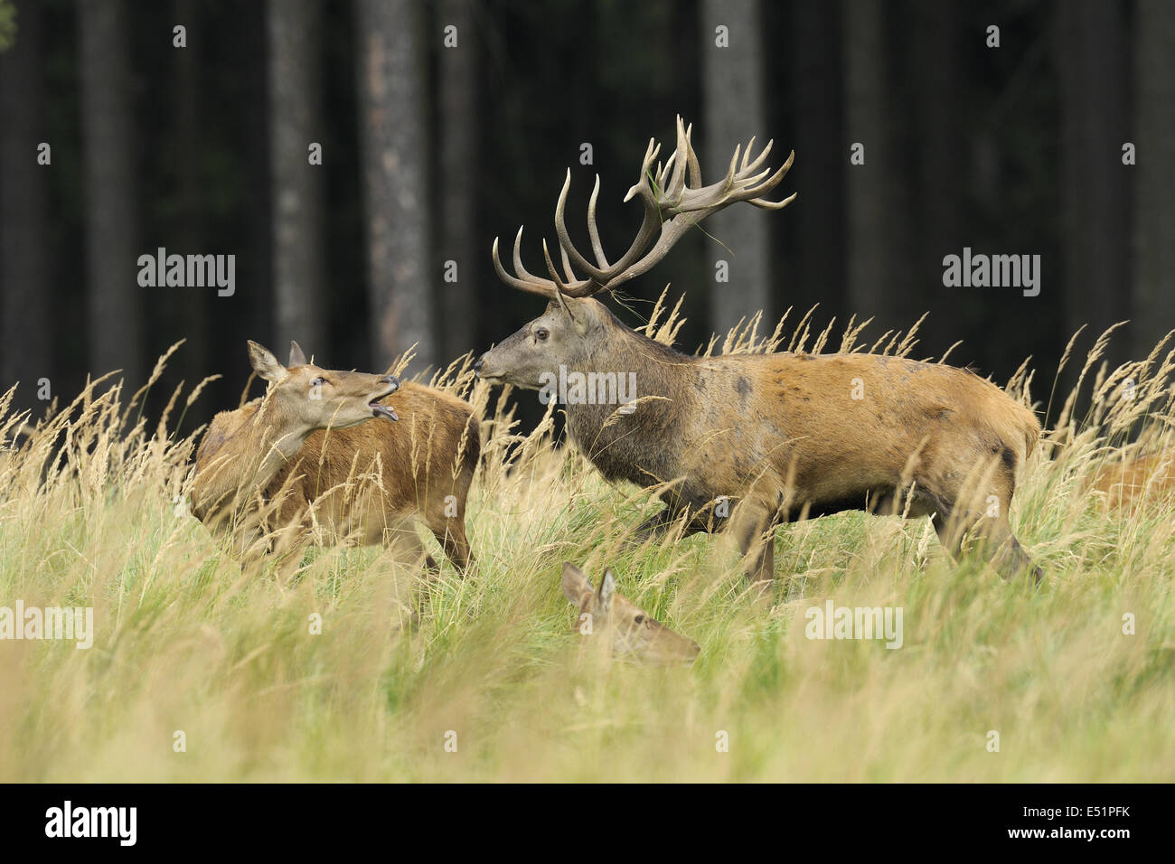 Red deer, Female and Male, Germany Stock Photo