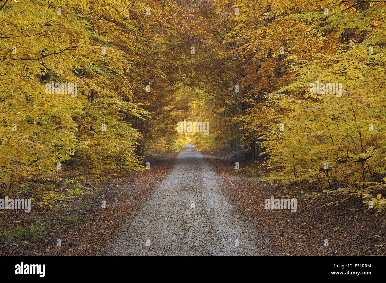 Path through Beech forest, Germany Stock Photo
