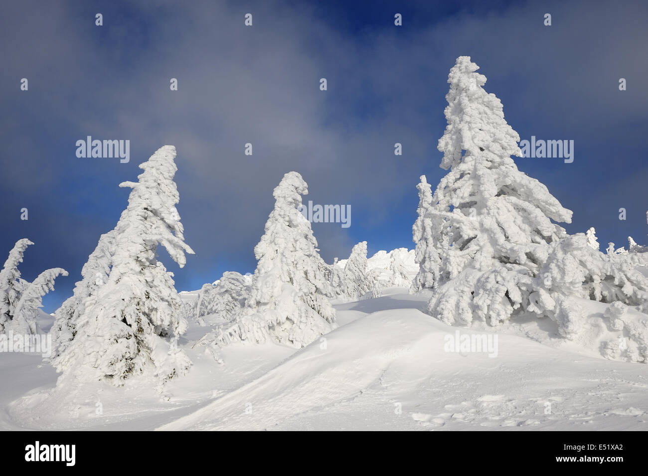 Snowy spruces, Bavaraia, Germany Stock Photo