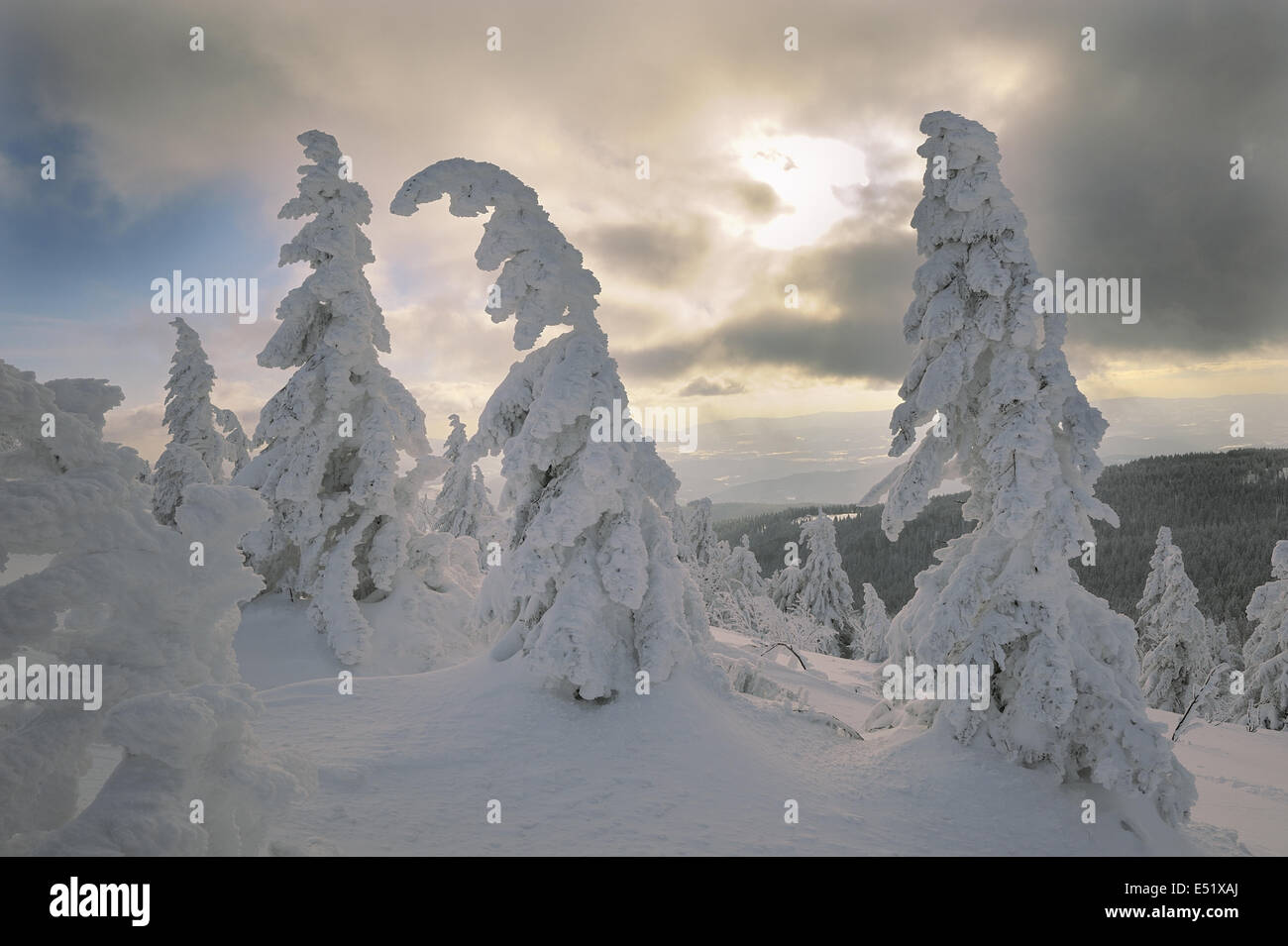 Snowy spruces, Bavaraia, Germany - Stock Image