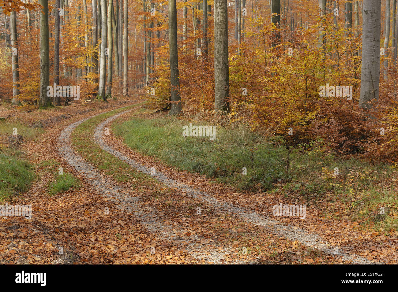 Beech forest in autumn, Germany Stock Photo