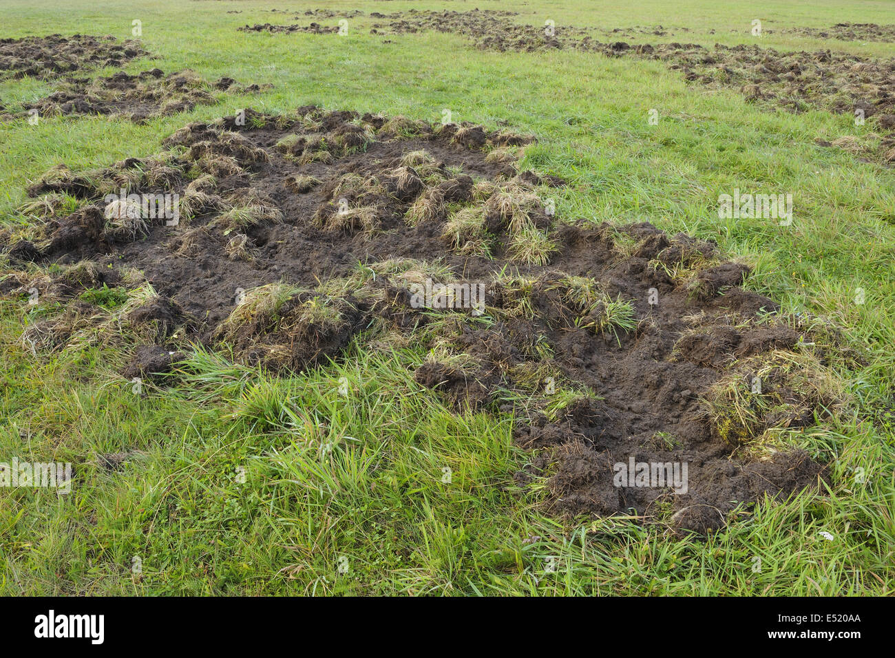 Game damage by wild boars, Germany - Stock Image