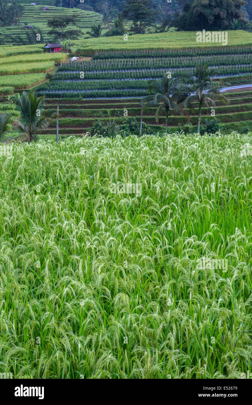 Jatiluwih Bali Indonesia Rice In Foreground Rows Of Peppers In