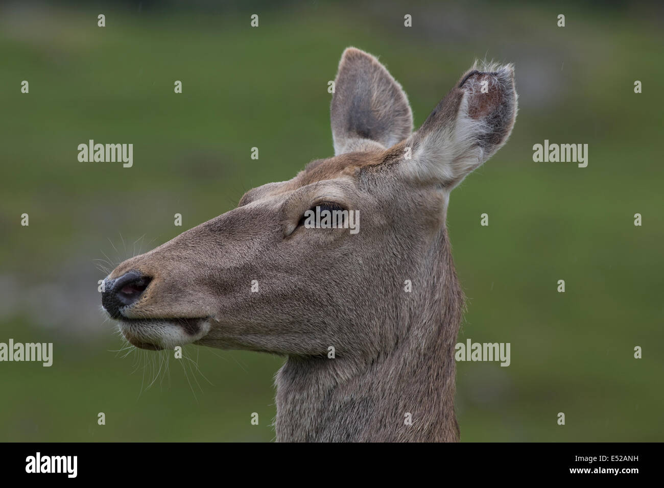 Portrait of Bactrian or Bukhara deer Cervus elaphus bactrianus Highland Wildlife Park Kincraig Inverness - Stock Image