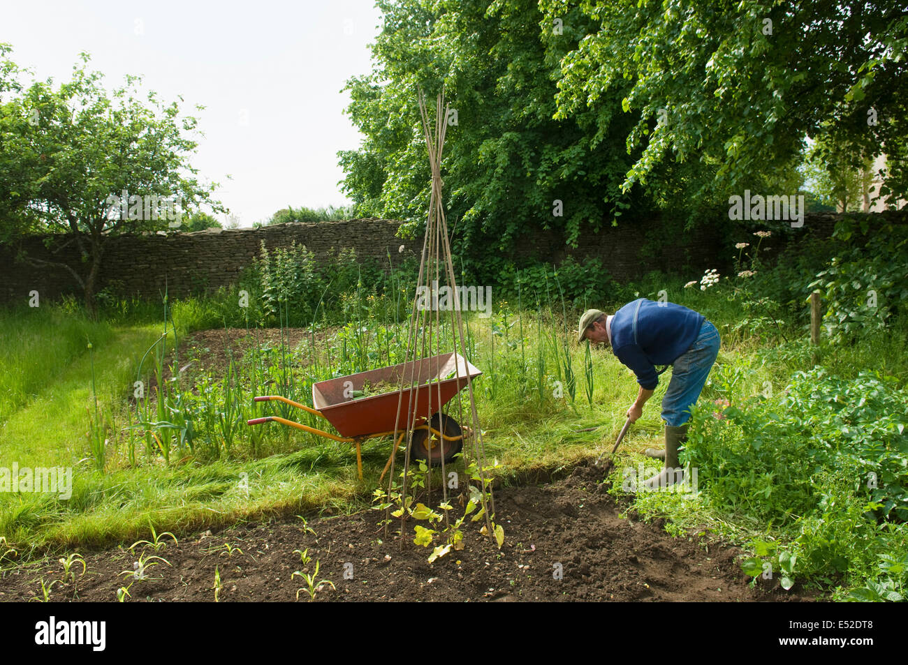 A man digging his vegetable garden, and planting young plants. - Stock Image