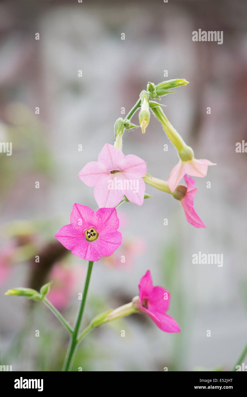 Nicotiana Flower Plant Pink Stock Photos Nicotiana Flower Plant