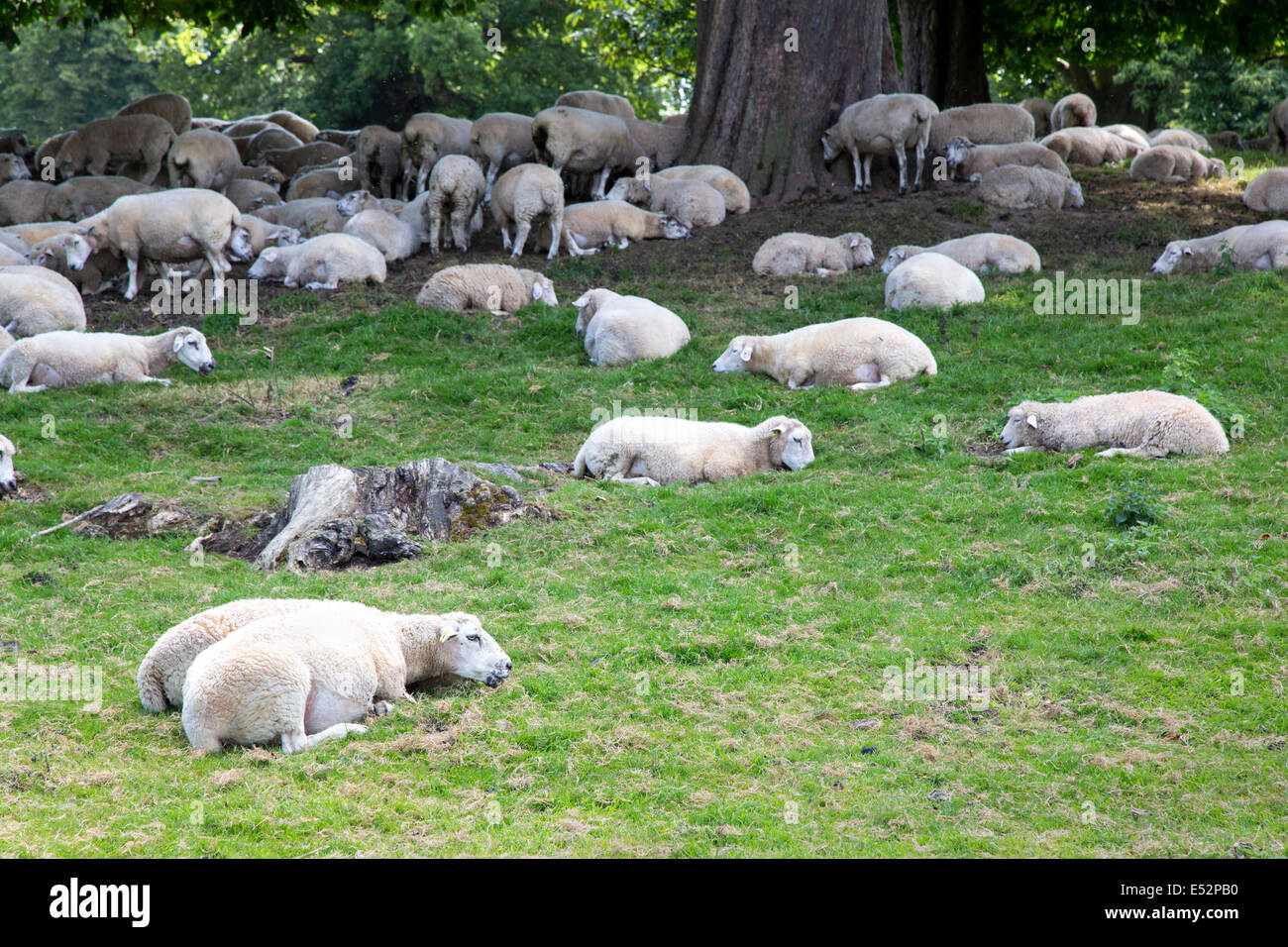 White faced sheep enjoying a siesta in the shade of trees in the Hampshire countryside UK - Stock Image