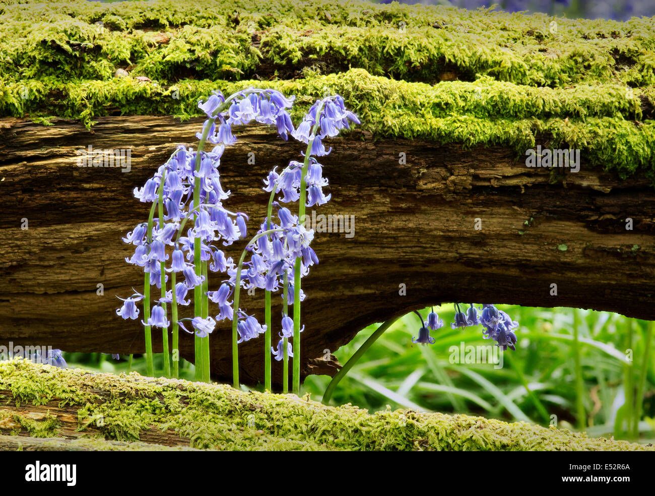 Bluebell flowers and moss covered fallen tree trunk in a Somerset wood UK - Stock Image