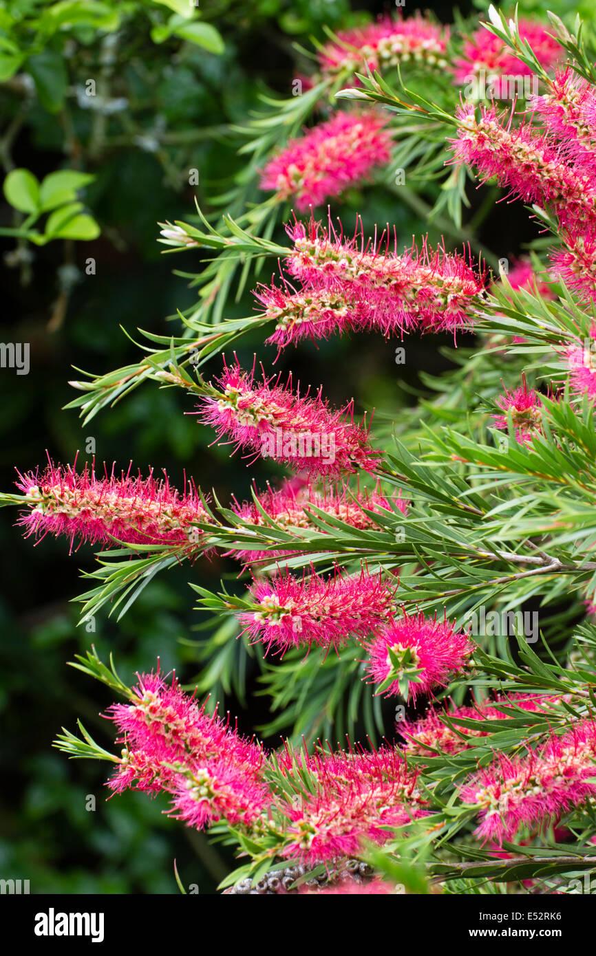Flower spikes of the crimson bottlebrush, Callistemon citrinus - Stock Image