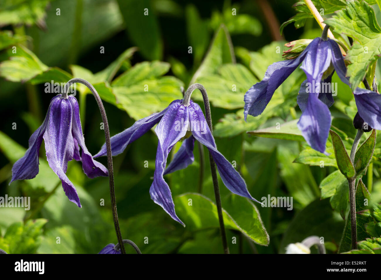 Hanging flowers of the sprawling perennial, Clematis integrifolia - Stock Image