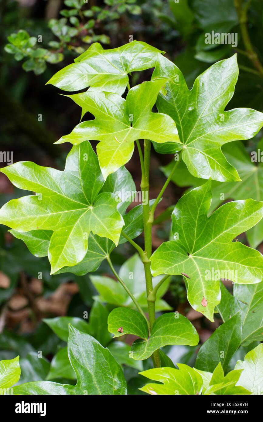 Foliage of the hedera / fatsia cross, x Fatshedera lizei - Stock Image
