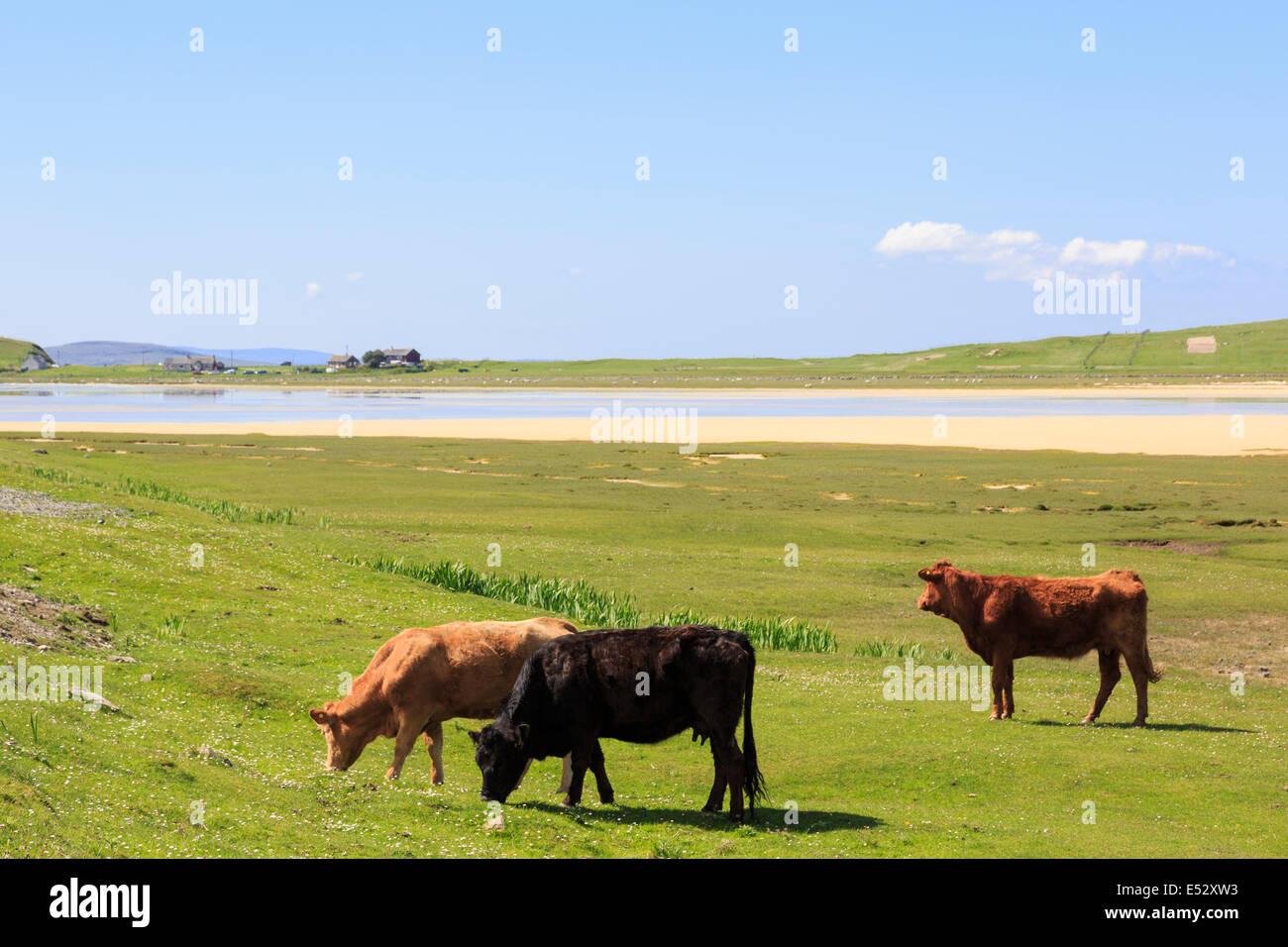 Three free range cattle grazing on natural coastal Machair pasture at Traigh Scarasta beach on Isle of Harris Outer - Stock Image