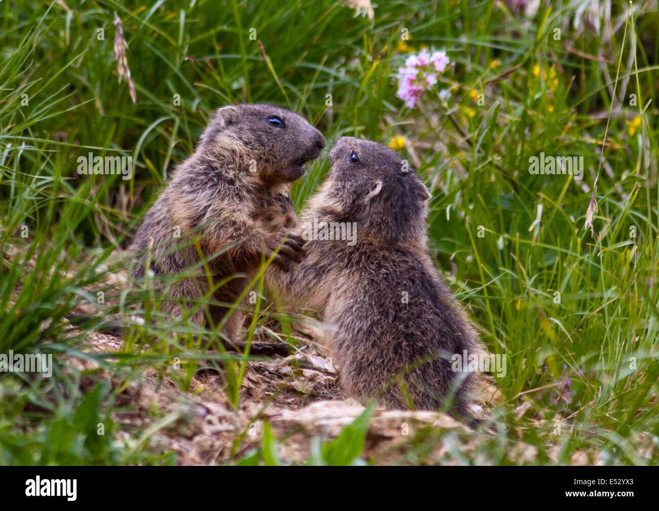 Juvenile Alpine Marmots (marmota marmota) play fighting, Pordoi Pass, Dolomites, Italy - Stock Image