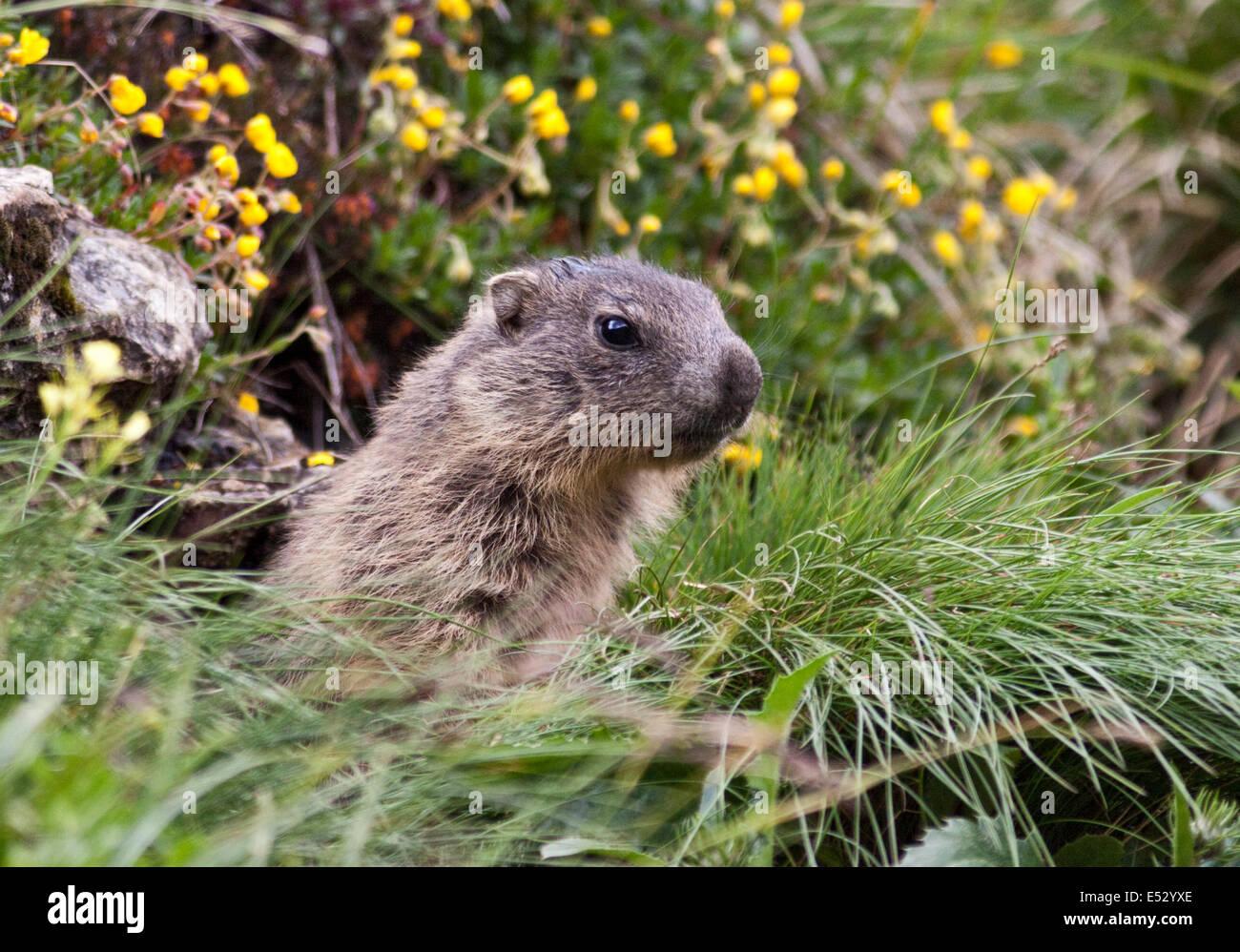 Juvenile Alpine Marmot (marmota marmota), Pordoi Pass, Dolomites, Italy - Stock Image