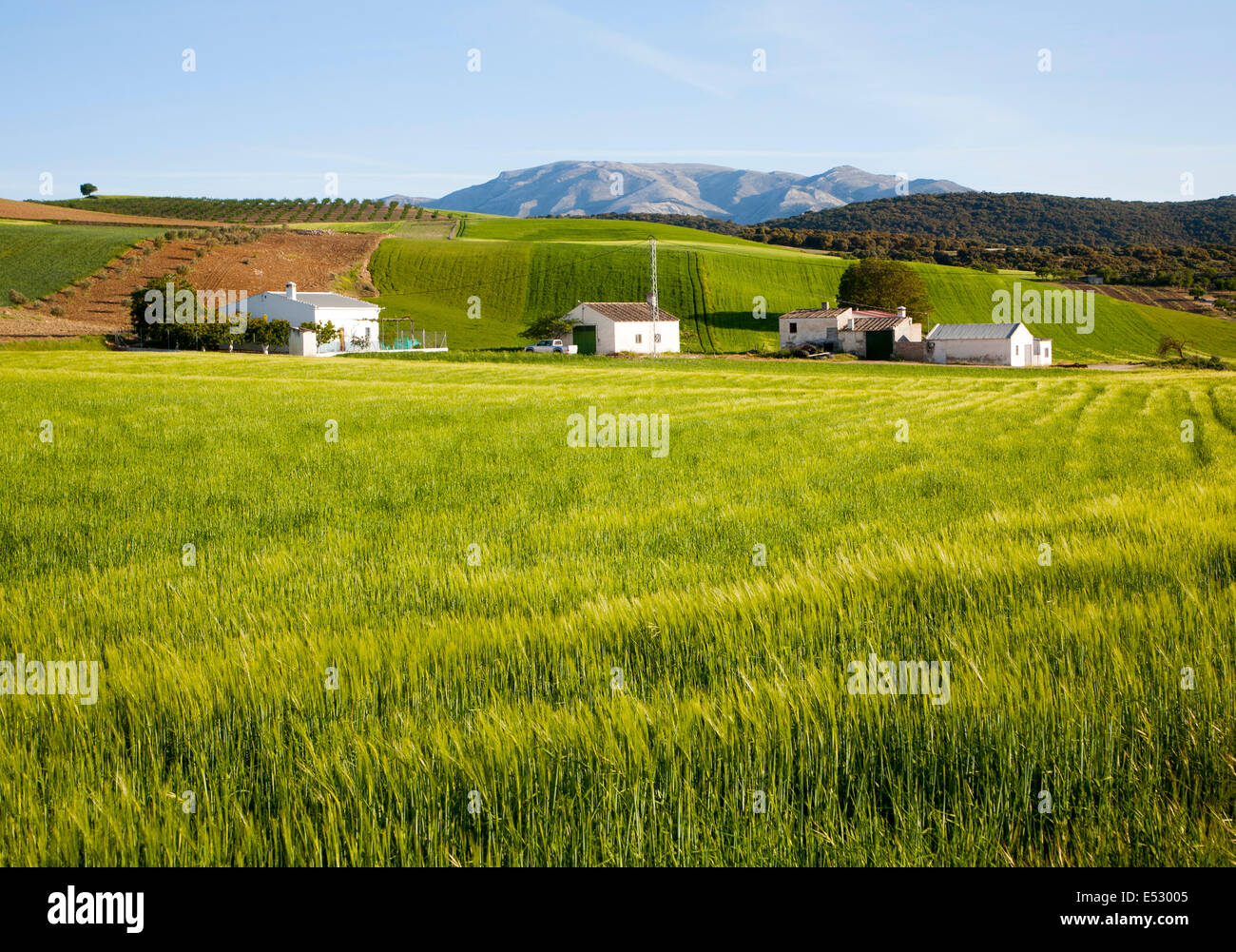 Farmhouse and barns set in rolling arable fields green barley crop near Alhama de Granada, Spain - Stock Image