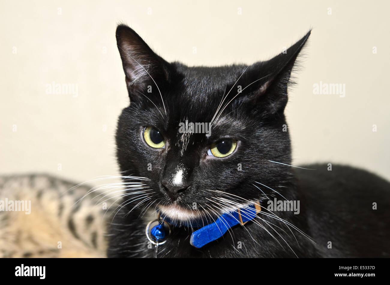 Face of black and white tuxedo cat - Stock Image