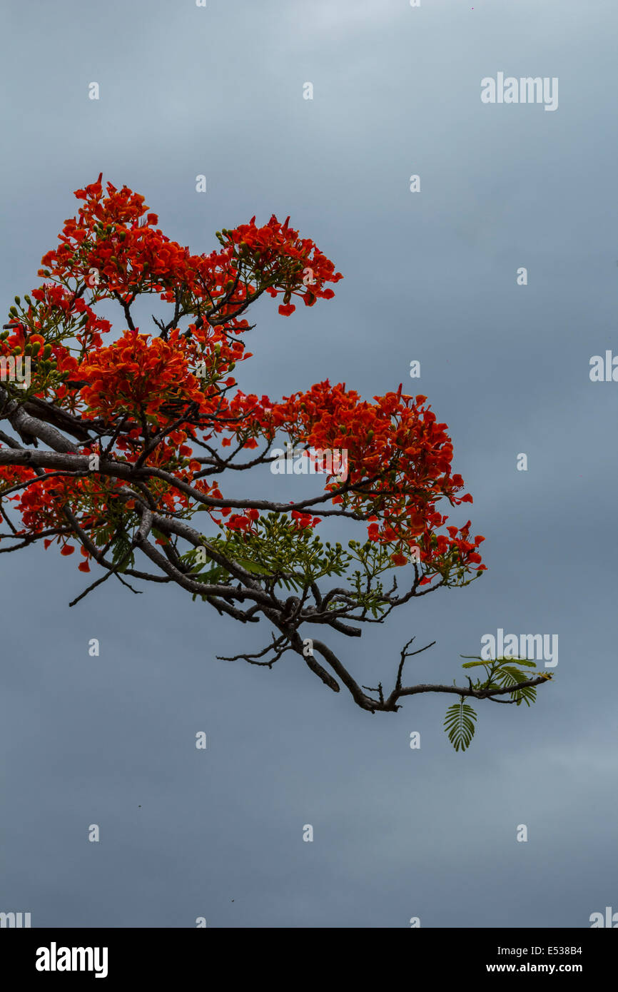 Delonis regia tree branch - Stock Image
