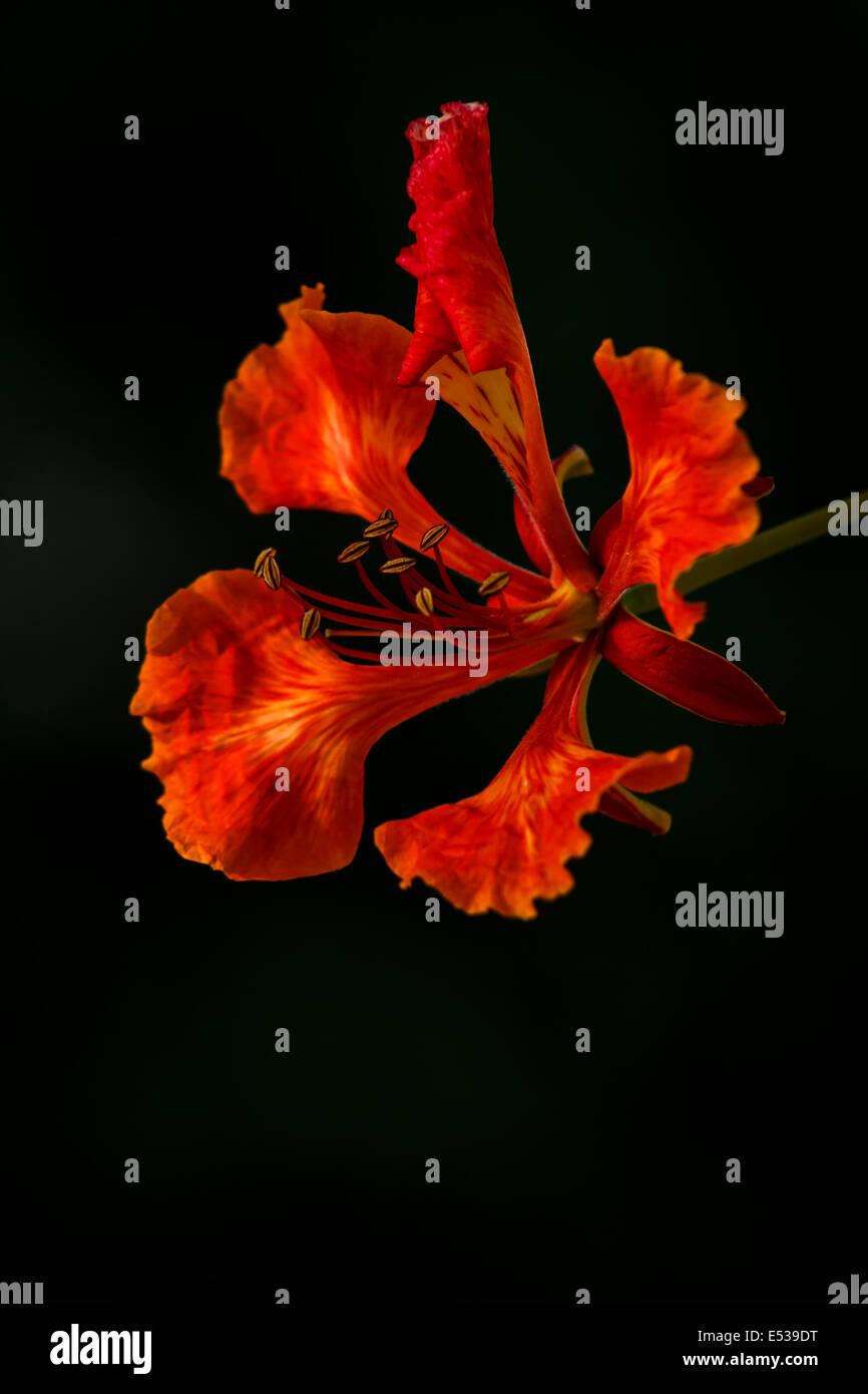 Flamboyant flower - Stock Image