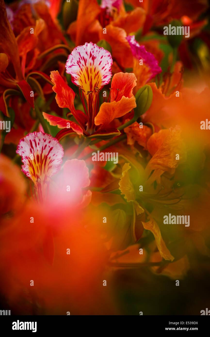 Flamboyant tree branch - Stock Image