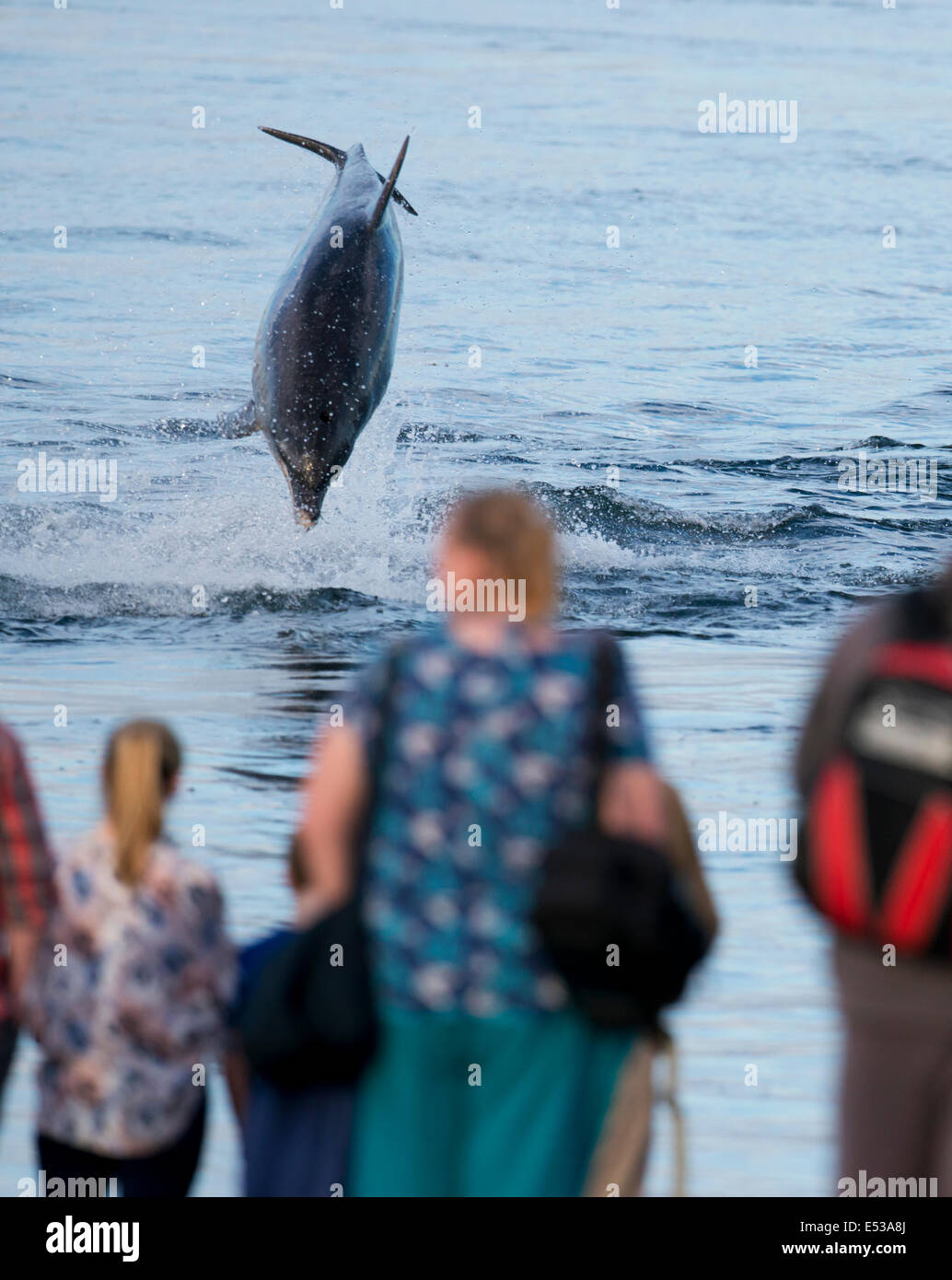 Bottlenose Dolphin breaching in front of onlookers at Chanonry Point, Scotland - Stock Image