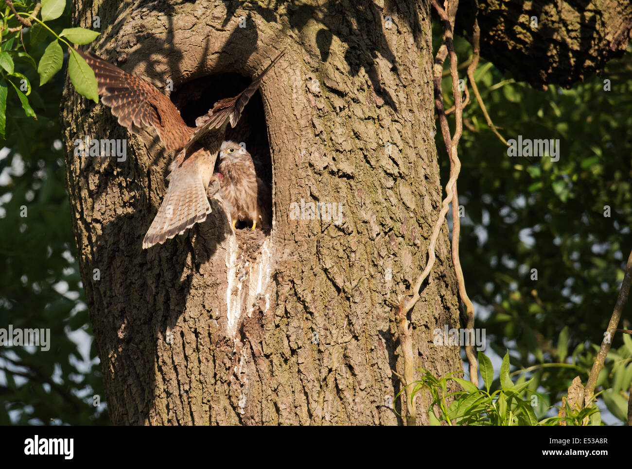 Wild female Kestrel, Falco tinnunculus delivering food into nest of waiting chicks - Stock Image