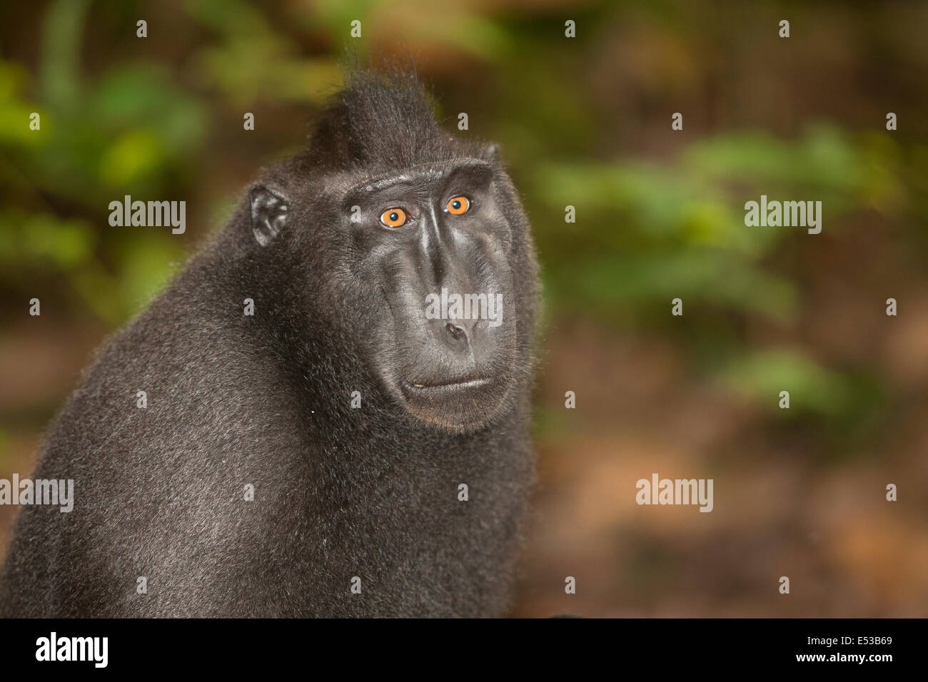 black crested macaque - Stock Image