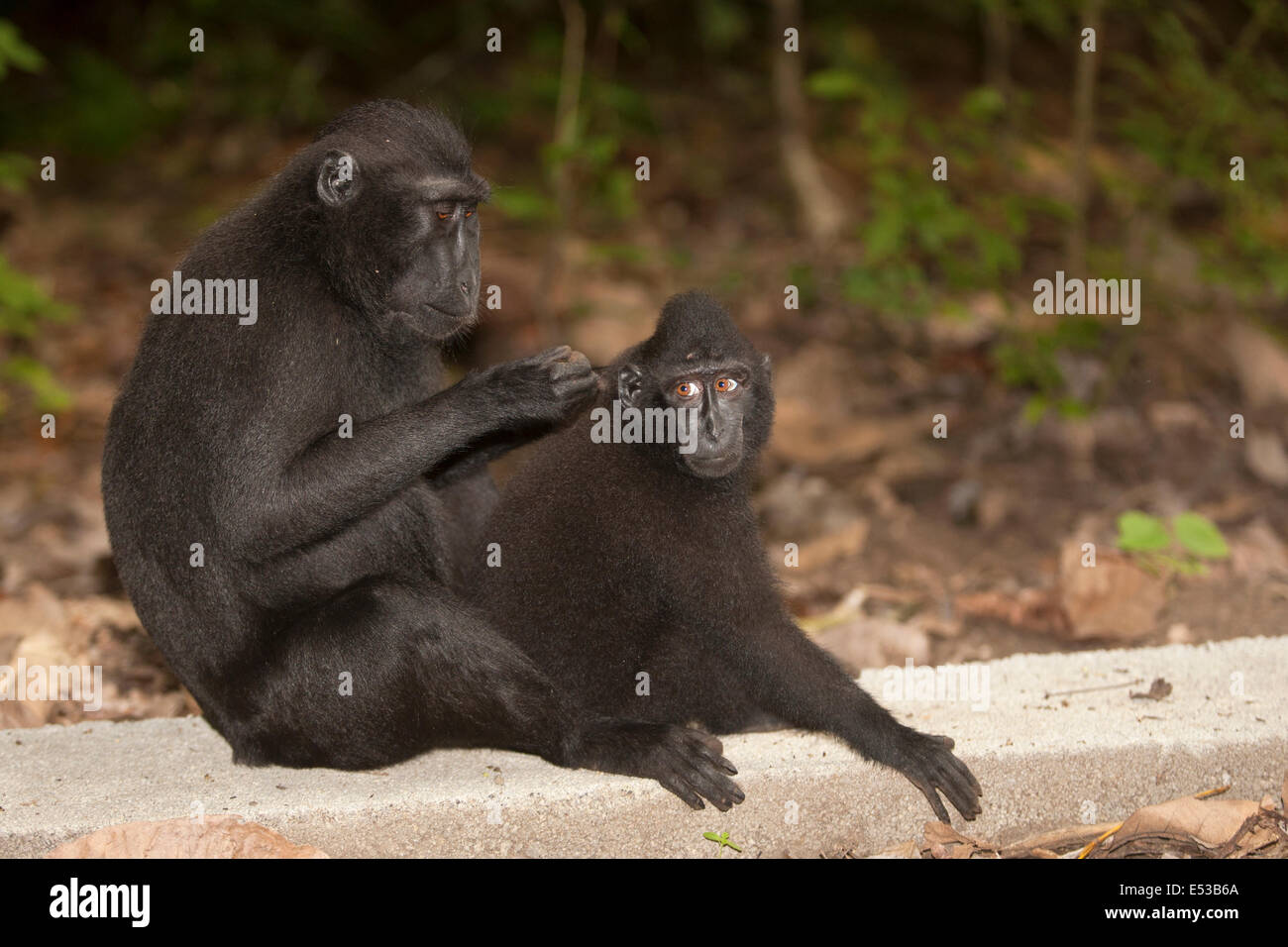 Grooming black crested macaque - Stock Image