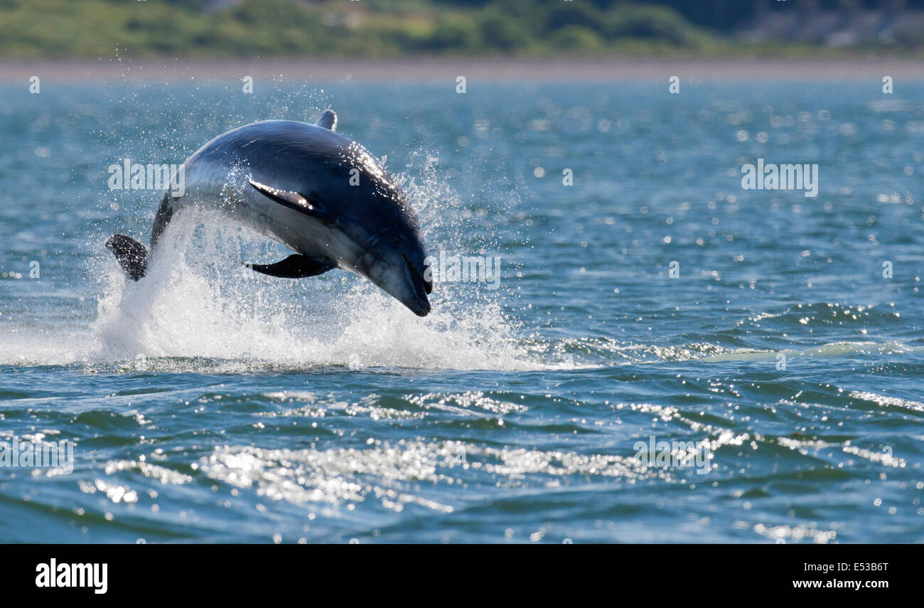 Bottlenose Dolphin breaching at Chanonry Point, Scotland - Stock Image