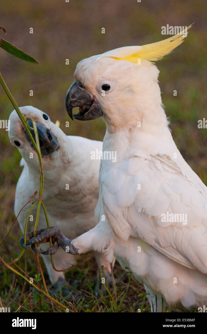 Sulphur-crested Cockatoos (Cacatua galerita), Centennial Park, Sydney, New South Wales, Australia - Stock Image