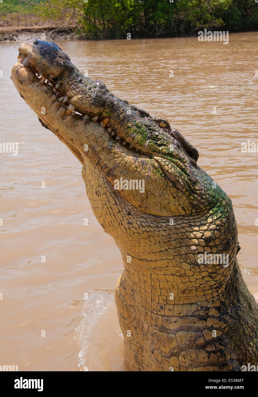 Saltwater Crocodile (Crocodylus porosus), Adelaide River, Northern Territory, Australia - Stock Image