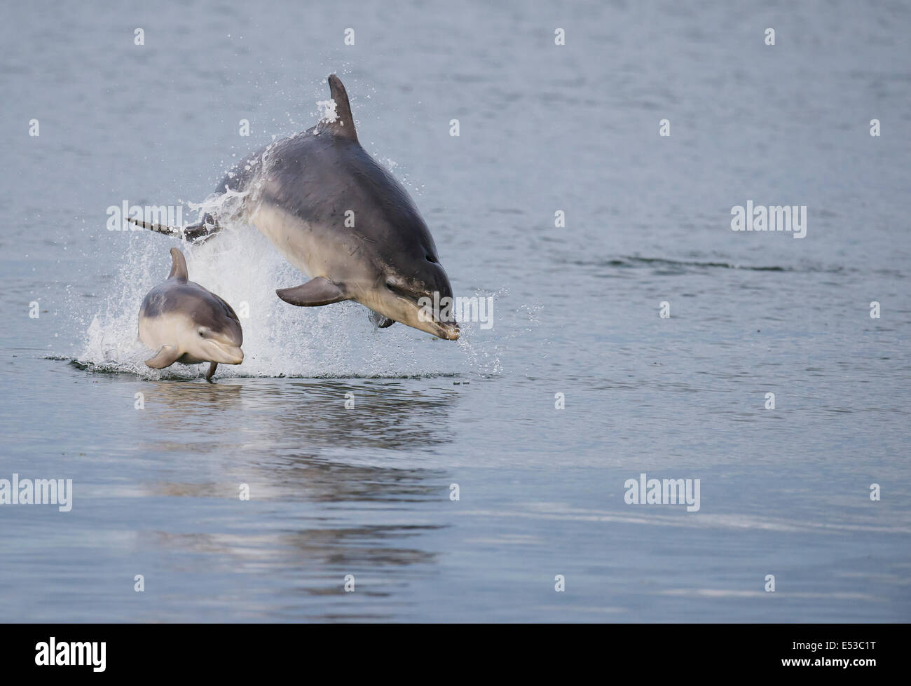 Female Bottlenose Dolphin with her calf at Chanonry Point, Scotland - Stock Image