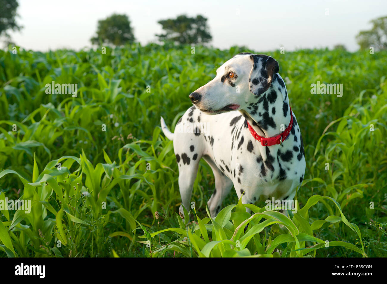 A Dalmatian dog is a very active breed. - Stock Image