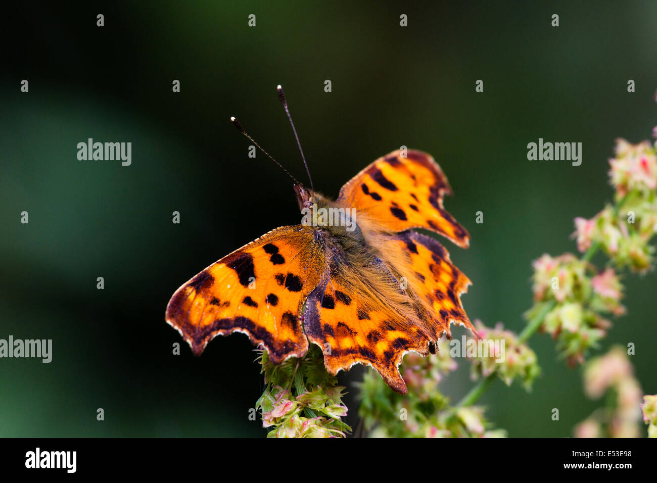 Single Butterfly, Orange Comma ,Polygonia c-album, on flower with wings spread in sun Stock Photo