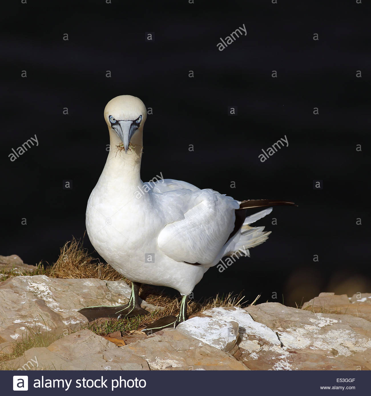 A Northern Gannet perched on a rock - Stock Image