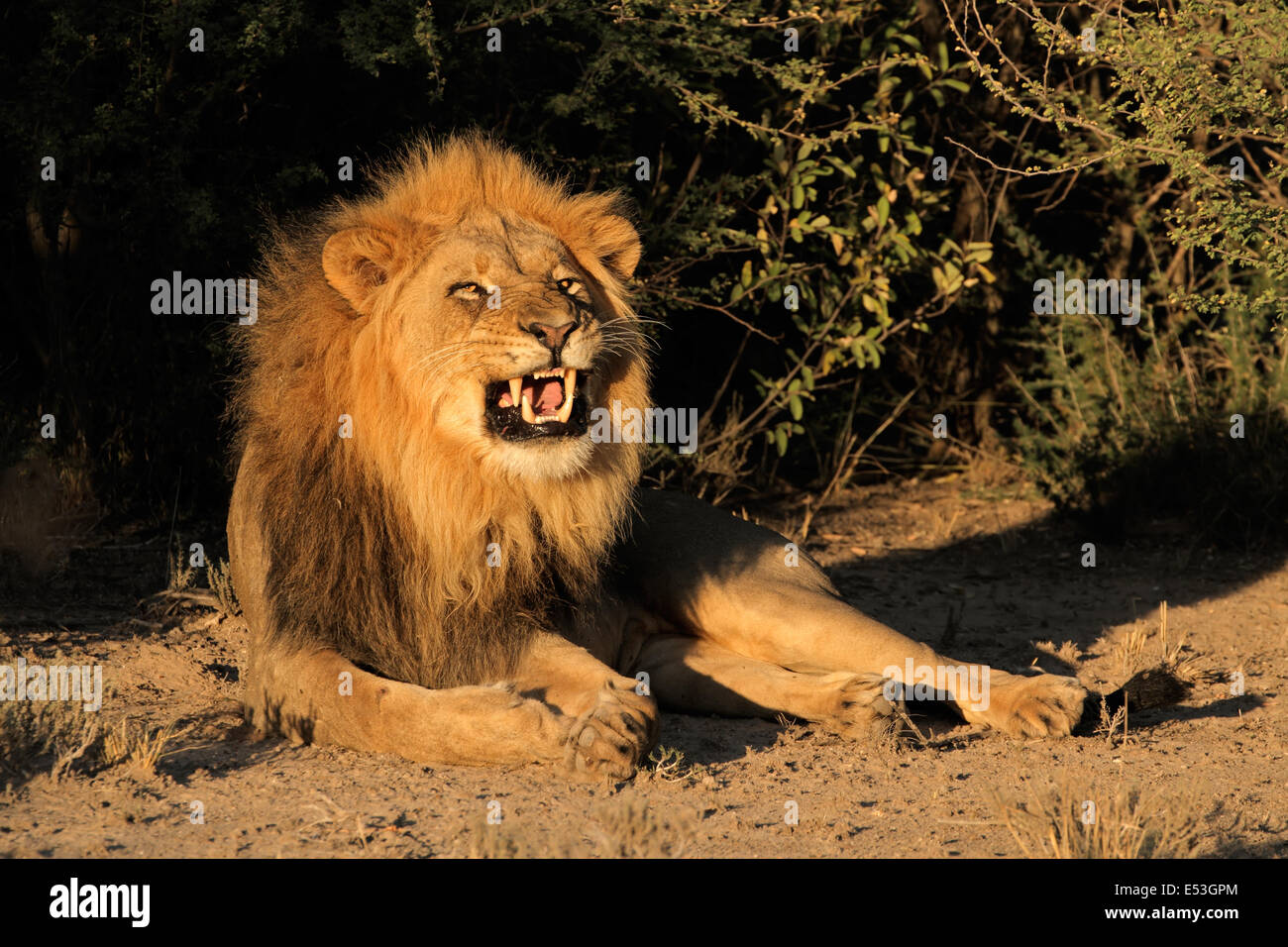Big male African lion (Panthera leo) snarling, South Africa - Stock Image