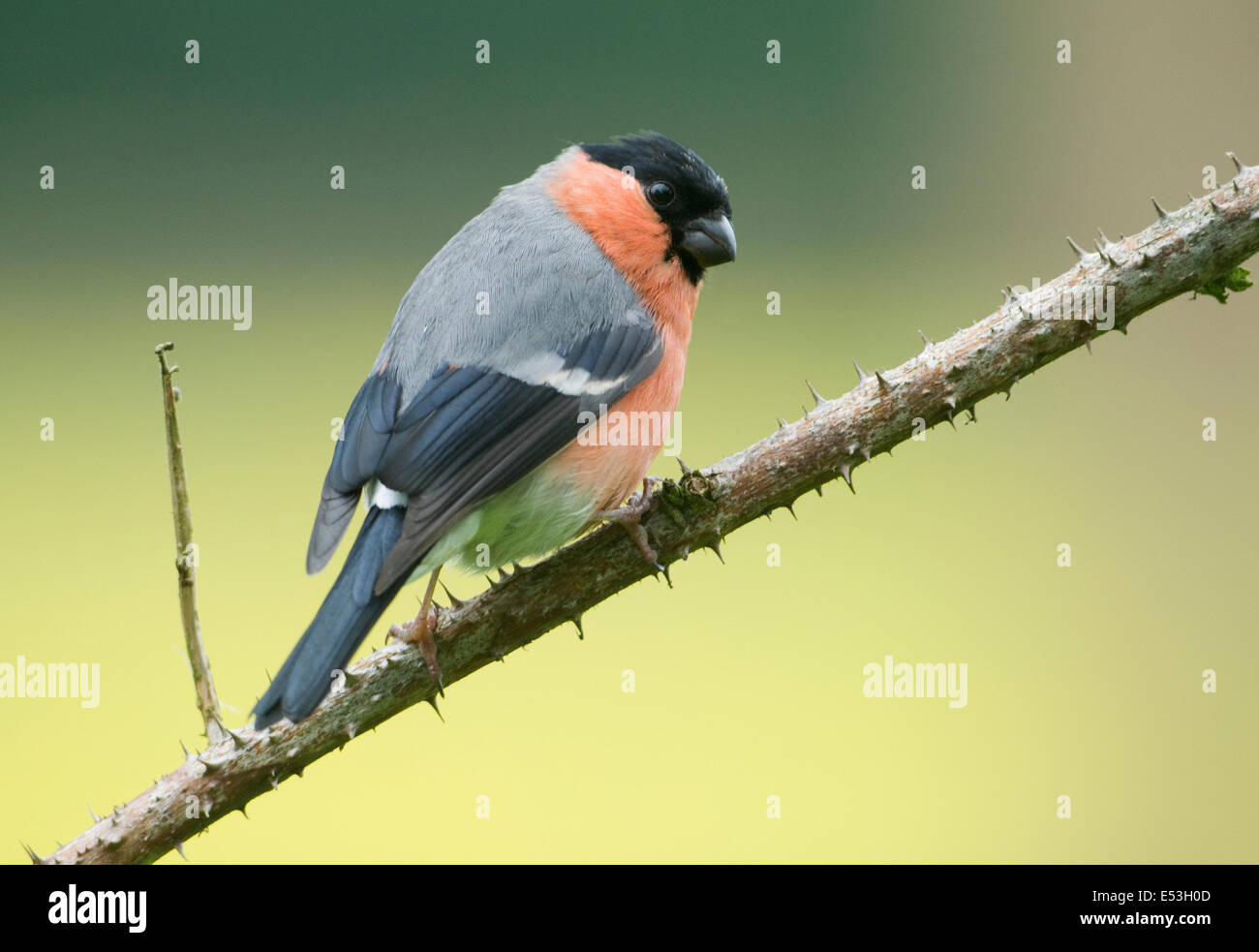 European Bullfinch ( pyrrhula pyrrhula) perched on bramble twig - Stock Image