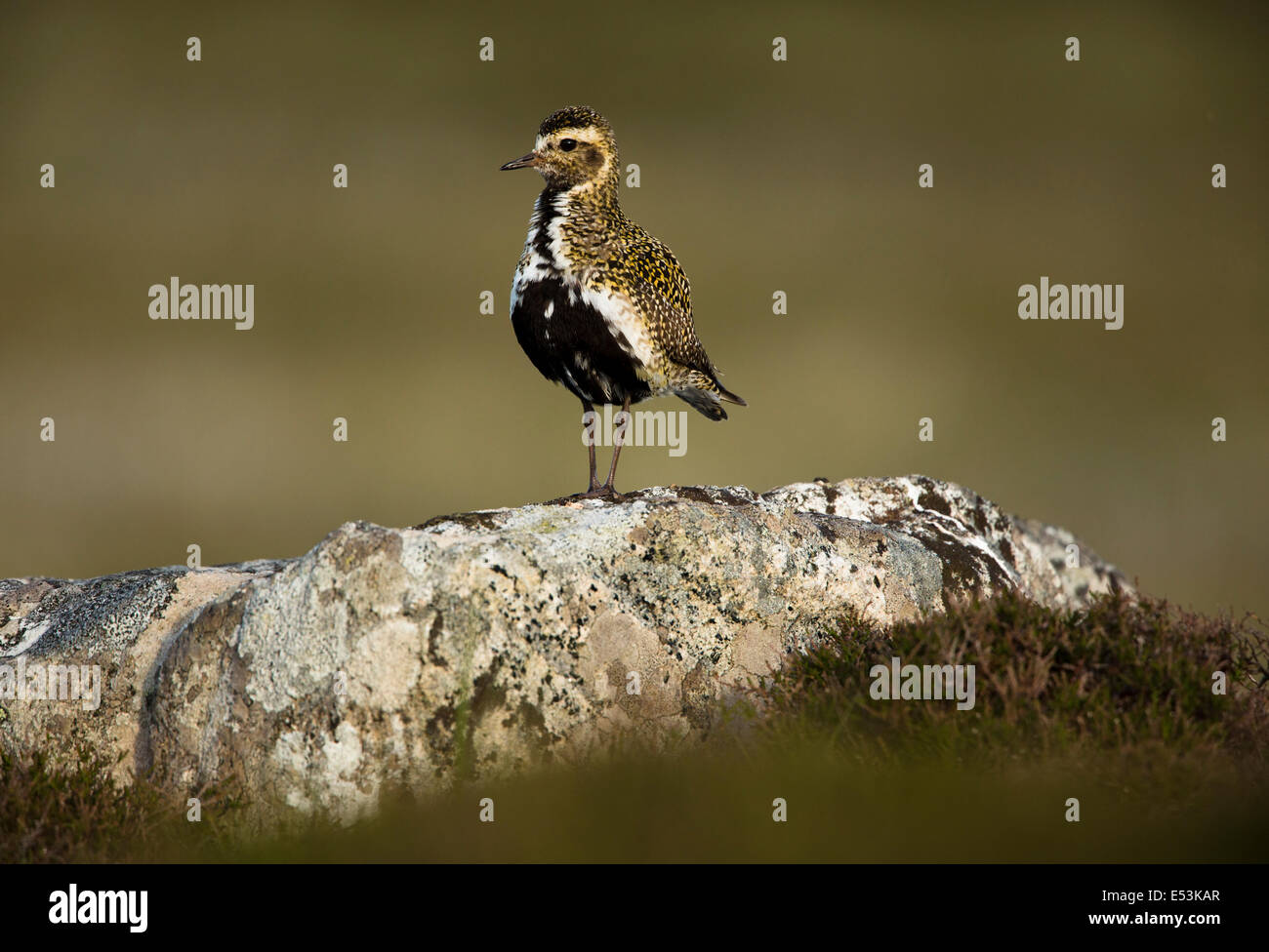 Golden Plover Stood On A Rock - Stock Image