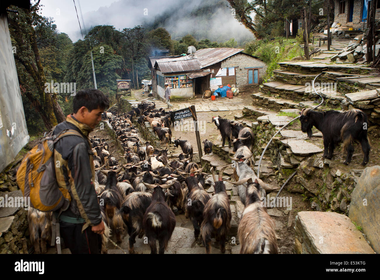 Nepal, Ghorapani, herd of goats being driven down to Pokhara for sacrifice during Dasain Festival - Stock Image