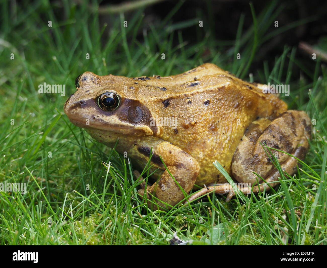 Mature European common frog (Rana temporaria) sitting in damp grass - Stock Image