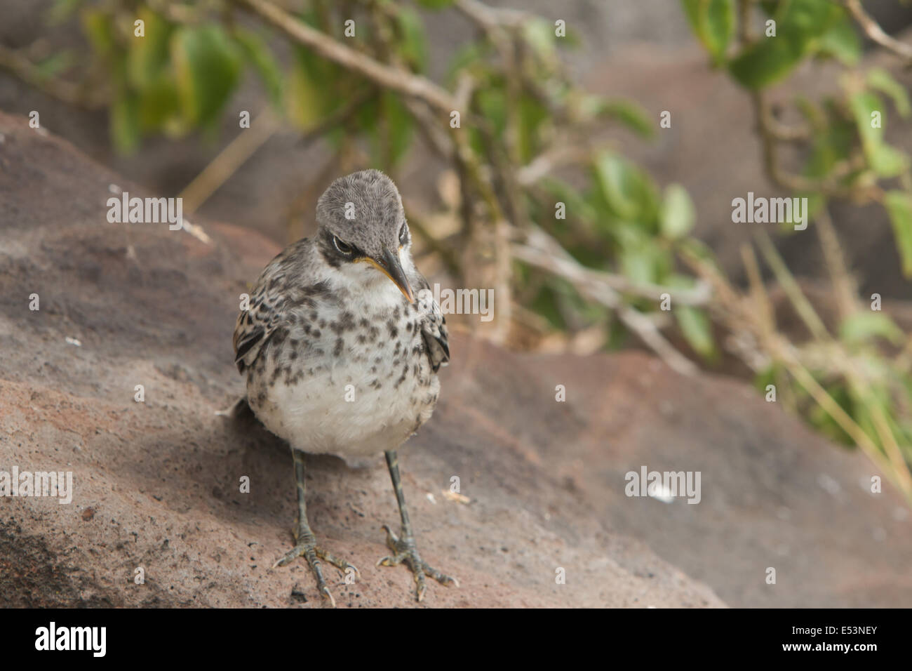 Ground Finch of the Galapagos Islands - Stock Image