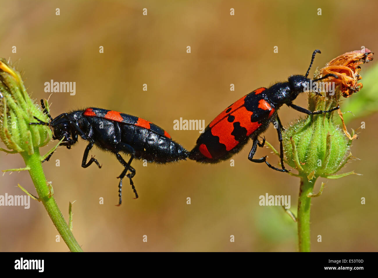 Beetles mating, Animal behavior - Stock Image