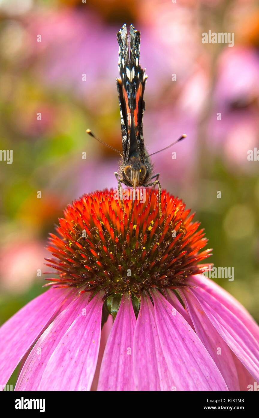 Red admiral on flower - Stock Image