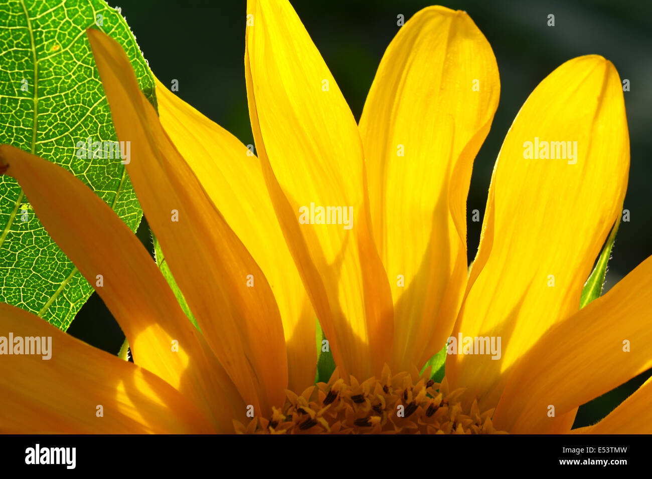 Sunflower petals in close-up - Stock Image