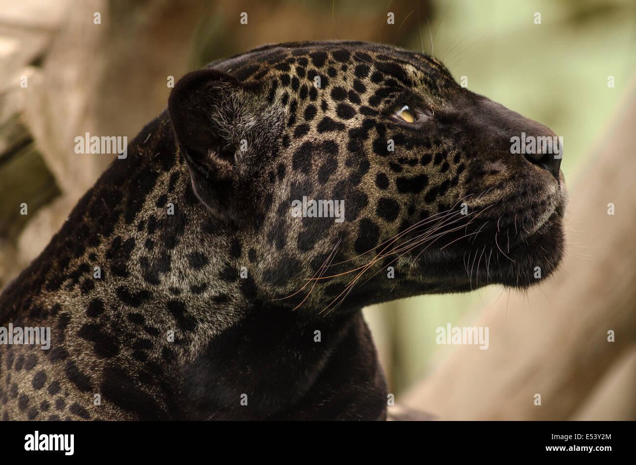 Panther or black jaguar Panthera onca - Stock Image