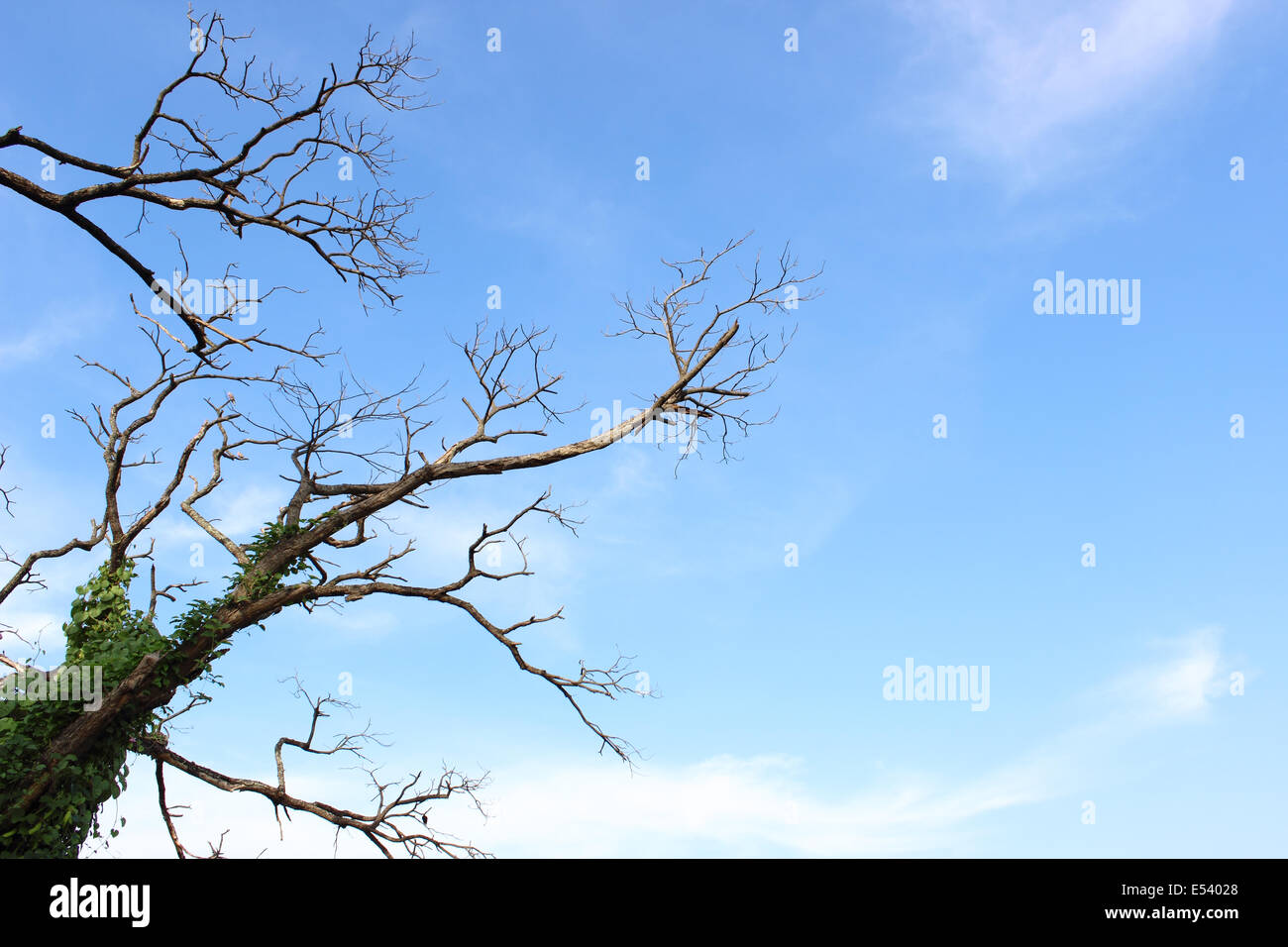 Leafless tree on blue sky - Stock Image