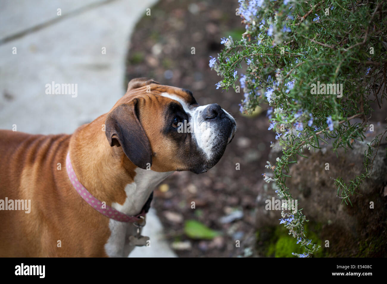 Boxer dog sniffing on the rosemary plant, Novato, Marin County, California, USA - Stock Image