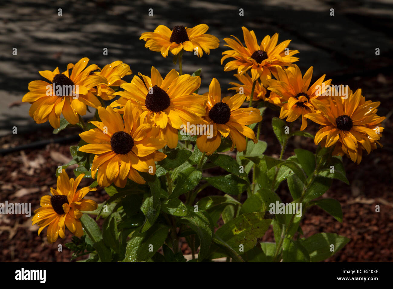 African Daisy Orange Symphony Osteospermum Displays Bright Orange
