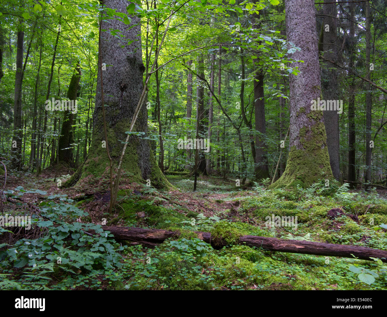 Monumental old spruces against fresh green deciduous background in summertime stand of Bialowieza Forest - Stock Image